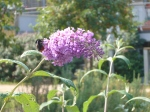 Bees and butterflies love buddleia